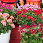 JEDNOSTAVAN TRIK: Dodajte ovo u saksije sa muškatlama i cvetaće neverovatno sve do jeseni!