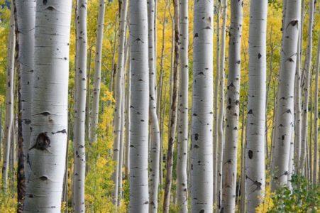 TRAVAR MOMČILO ANTONIJEVIĆ: Čaj od breze topi pesak u bubrezima, odnosi urinarne infekcije i čini kosu jačom!