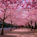 Karneval cvetanja trešanja, simbol kratkoće života će sačekati da prođe korona