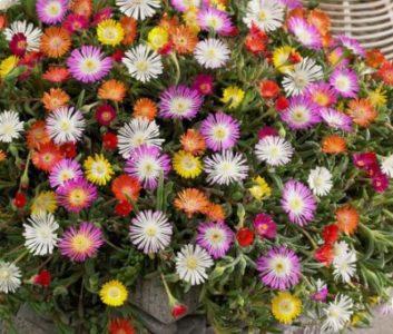EVO KAKO DA NAPRAVITE RAJSKI VRT! Posadite Pustinjsku ružu i za tren oka stvoriće cvetni tepih u kojem ćete uživati do kraja jeseni