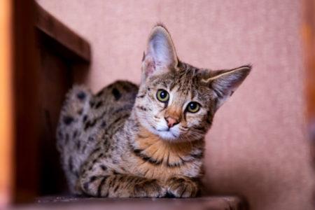 KOŠTAJU ČITAVO BOGATSTVO: Pet najskupljih rasa mačaka na svetu, neodoljive su!