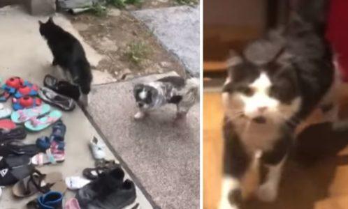 NAJSLAĐI LOPOV: Ko ne voli mačke, posle ovog snimka promeniće mišljenje o njima! (VIDEO)
