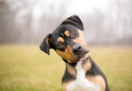 OVO SIGURNO NISTE ZNALI: Zašto vaš pas nagne glavu na jednu stranu kada mu se obratite?